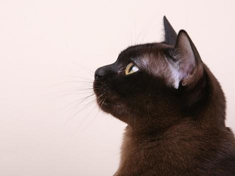 Katės grybelis